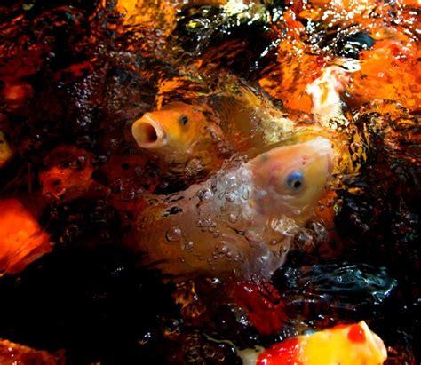 Bibit Ikan Koi Makassar ikan koi home