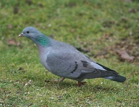 stock dove life expectancy