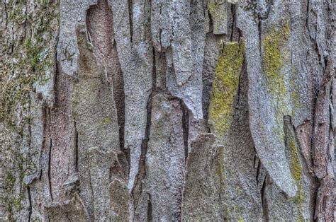Tree With Shedding Bark by Peeling Bark Search In Pictures