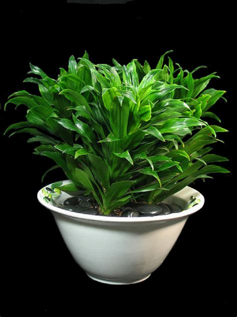 good indoor plants for low light inside urban green low light low maintenance dracaena bowl