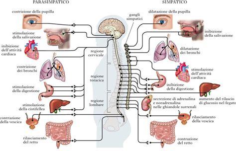 posizione organi interni osteopatia viscerale