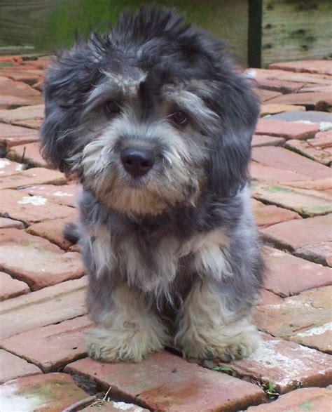 dandie dinmont terrier puppies for sale best 25 terrier puppies ideas on terriers terrier puppies and