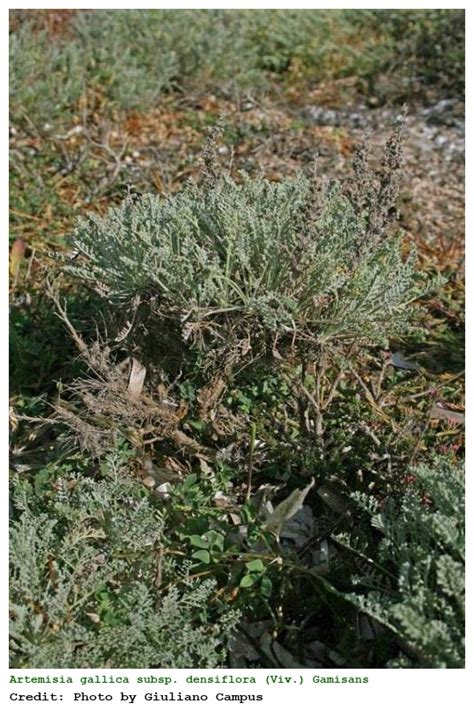 nomi di fiori in francese artemisia gallica subsp densiflora assenzio francese a