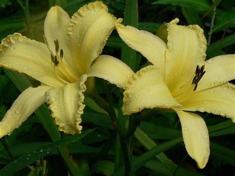Heavenly Gardens Daylilies by Daylilies Forum Heavenly Gardens Gossard Intros