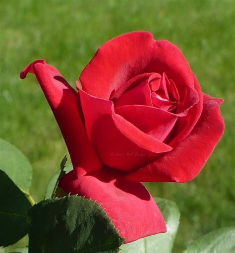 the rose and the red roses most popular rose rose wallpapers beautiful rose red rose pictures rose make2fun