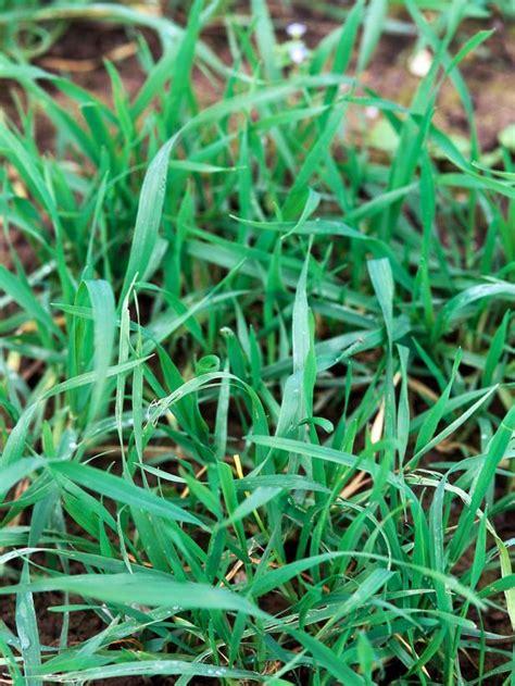 how to plant winter grass planting winter rye hgtv