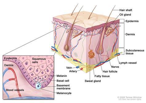 skin cells diagram genetics of skin cancer pdq 174 health professional version