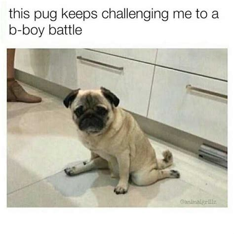 my pug keeps scratching this pug keeps challenging me to ab boy battle memes dopl3r
