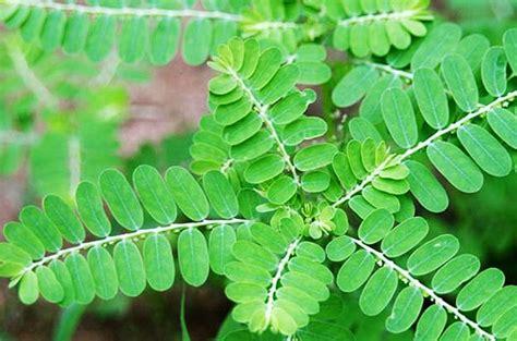 Obat Asam Lambung Sirup 11 tanaman herbal untuk penyakit asam lambung
