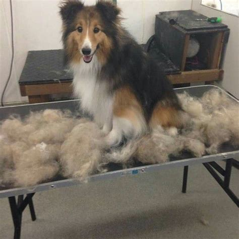 Do Collies Shed m 225 s de 1000 ideas sobre border collie shedding en