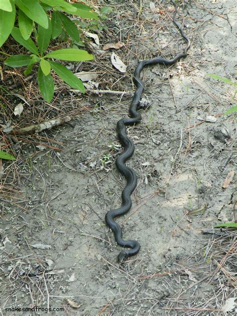 black racer black racer snake bite www pixshark com images
