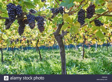 grape vines with ripe black grapes at wiston vineyard sussex stock photo royalty free image
