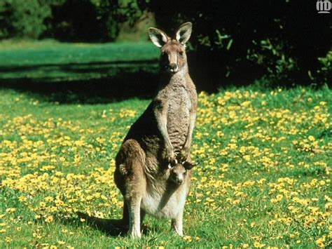 kangaroo and the animal kingdom images kangaroo joey hd wallpaper and background photos 1139090