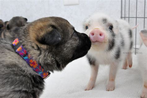 newborn puppies dying an adorable friendship between german shepherd puppies and new born pigs pets fans