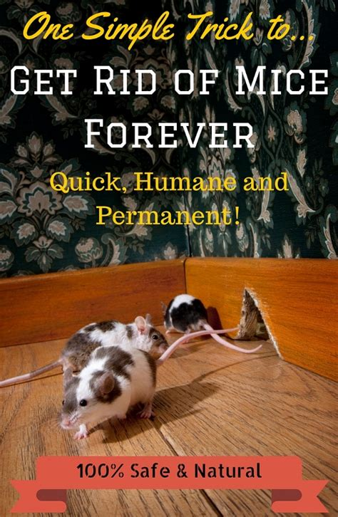 how to get rid of mice quickly and naturally free guide