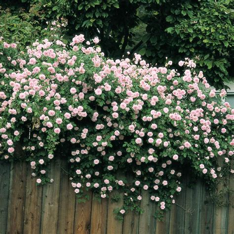 cecile brunner climbing rose henry fields seed