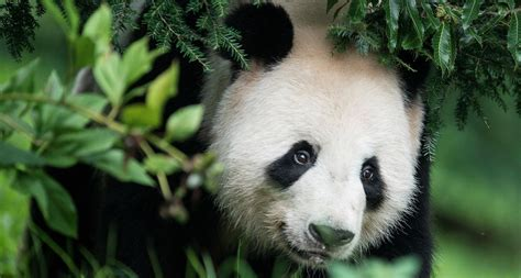 Happy Birthday To Jia Jia, The Oldest Living Giant Panda