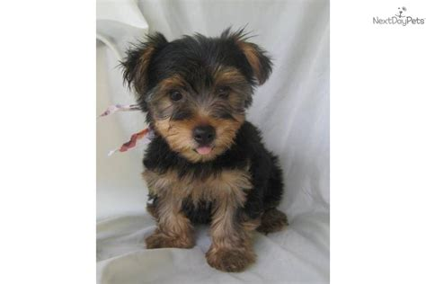 teacup yorkie characteristics what is the personality of a terrier dogs in our photo