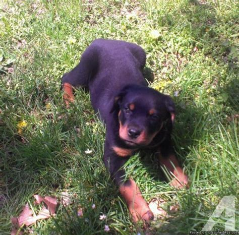 rottweiler puppies for sale in illinois akc german rottweiler puppies for sale in hewittsville illinois classified
