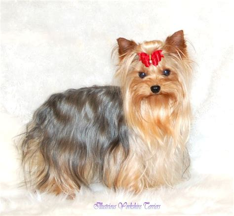 yorkie breeders in illinois 25 best ideas about yorkie breeders on terrier breeders teacup