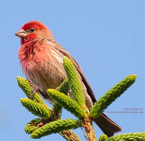 do house finches mate for life do house finches mate for 28 images fruits finch beaks