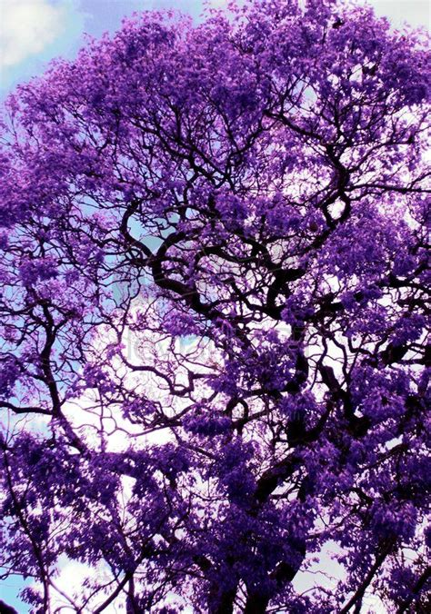 purple tree 25 best ideas about purple trees on in bloom
