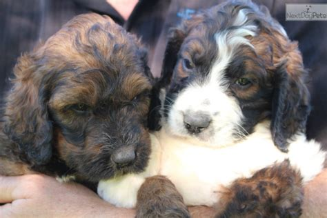 berdoodle puppies for sale berdoodle st berdoodle puppy for sale near toronto ontario 0db5e219 f191