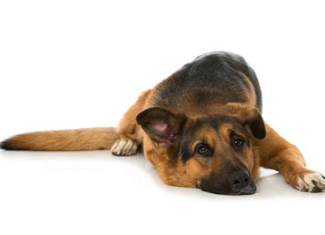 bloated puppy home remedy signs and symptoms of bloat in dogs petmd