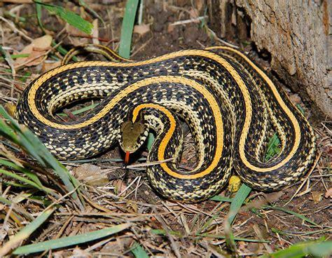 Lepaparazzi News Update Ricci And In Black Snake Moon by Plains Gartersnake Plains Garter Snake Mdc Discover Nature