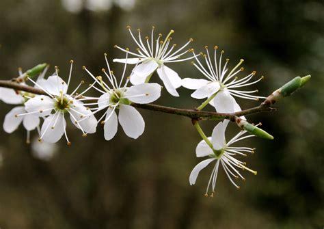 Fleurs arbustes prunus spinosa prunellier buisson noir epinette epine noire