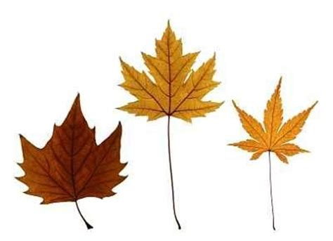 maple tree leaf shape 1000 images about forest plants identification on smokey the bears ferns and indian