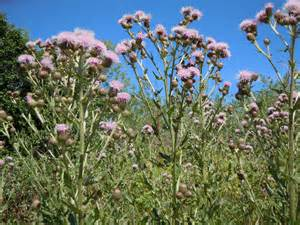 State Flowers List cirsium arvense lower hudson partnership for regional