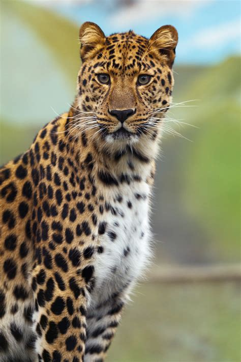 domain leopard image the graphics leopard free stock photo domain pictures