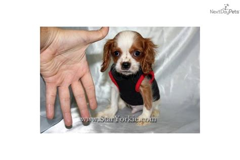 teacup cavalier king charles spaniel puppies for sale cavalier king charles spaniel puppies for sale auto design tech
