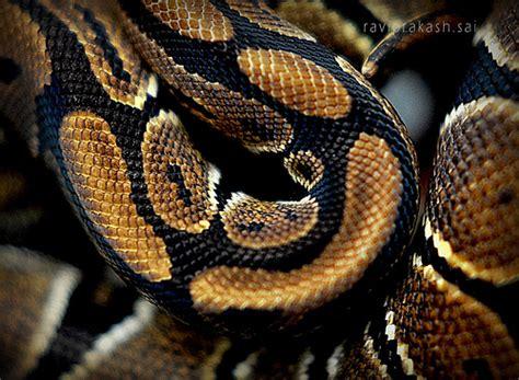 python string pattern design patterns ball python skin pattern ravi prakash flickr