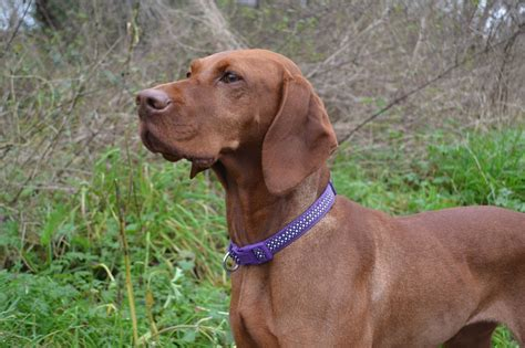 viszla puppies hungarian vizsla puppies wolverhton west midlands pets4homes