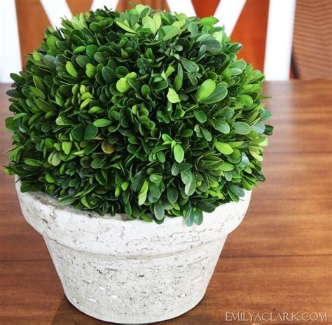 real boxwood topiary 1000 images about boxwood table on gardens