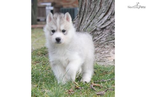 siberian husky puppies for sale in indiana siberian husky puppy for sale near terre haute indiana 9a7576df 1781
