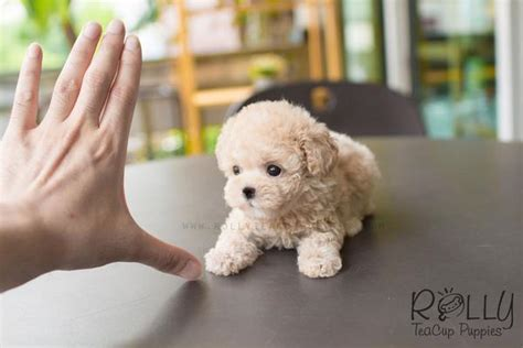 rolly teacup puppies reviews creme poodle rolly teacup puppies
