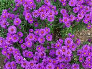 wallpapers aster flowers wallpapers