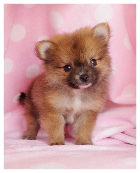 how big do pomeranian dogs get 17 best images about teacup pomeranian different colors on micro teacup