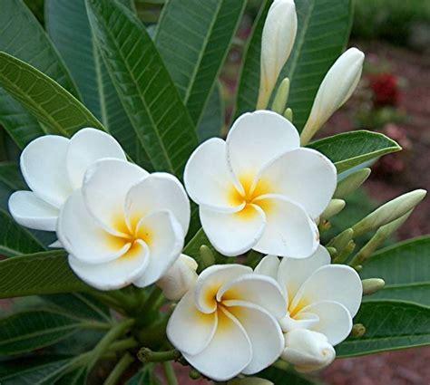 plantfiles pictures plumeria dwarf singapore white