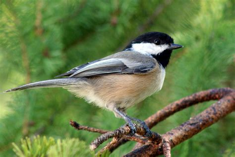 state bird of maine black capped chickadee