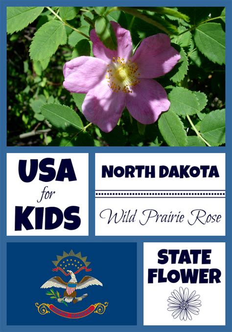 wild rose iowa state flower travel iowa usa north dakota state flower prairie rose by usa facts for kids
