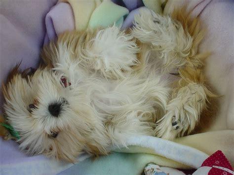 lhasa apso puppy file lhasa apso puppy basket jpg