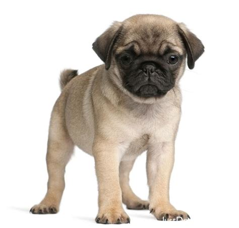 different types of pugs home types pug breed breeds picture