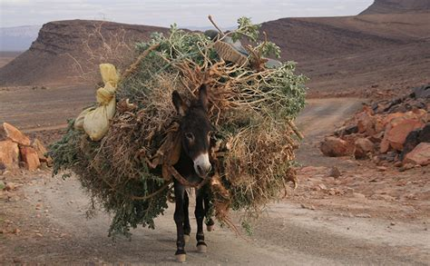 Horse Saddle by 11 Photos Of Donkeys Carrying Heavy Loads Modern Farmer