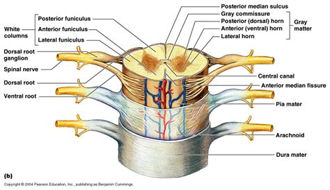 Central Nervous System Anatomy The Spinal Cord