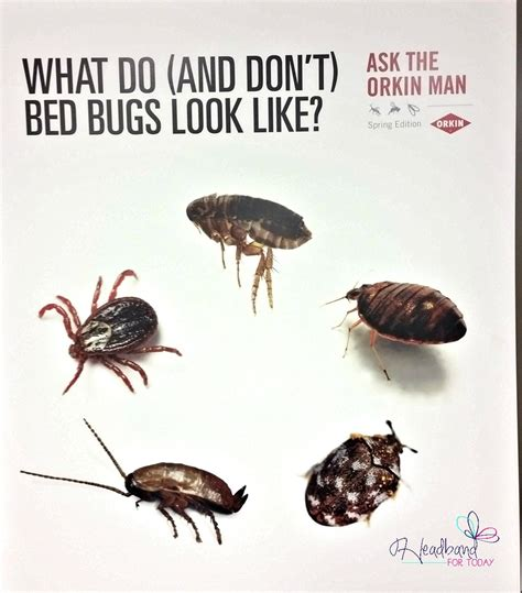 what a bed bug looks like don t let the bed bug bite sleep well and learnwithorkin