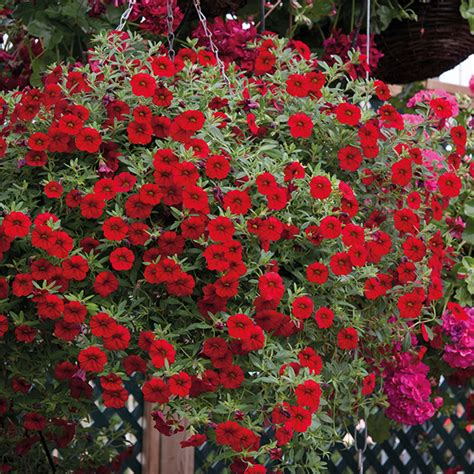 calibrachoa cabaret 174 bright red plants from mr fothergill s